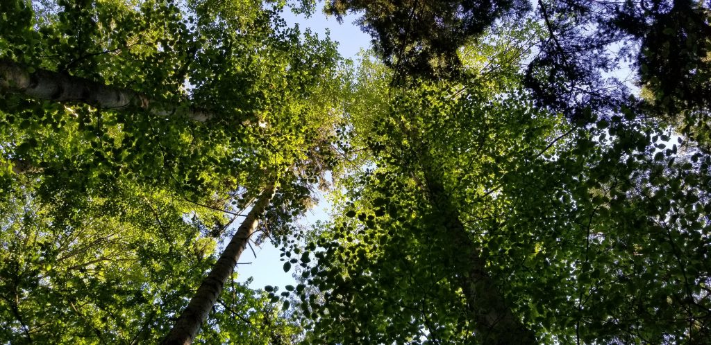 View looking up into the trees