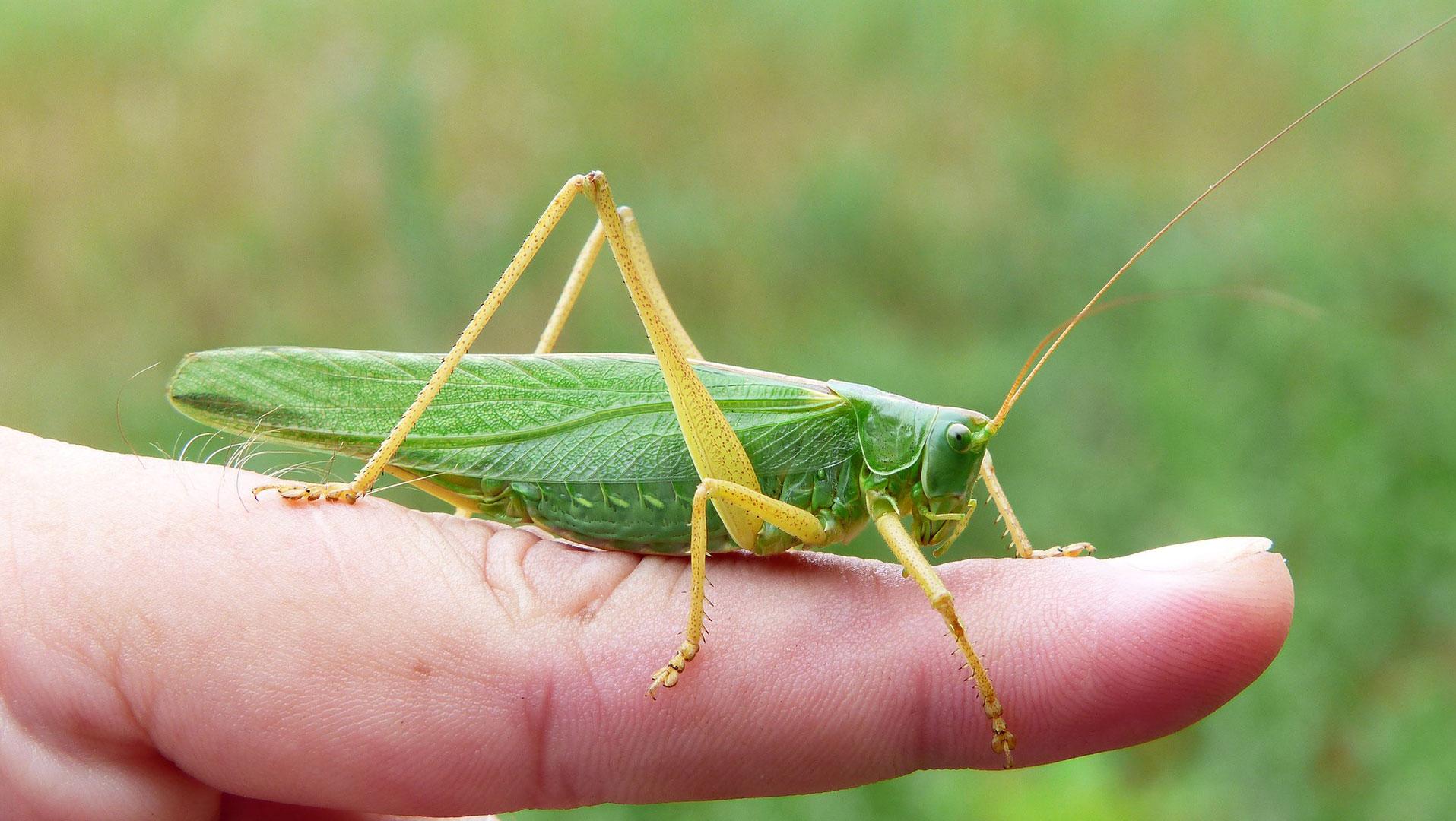 Grasshopper resting on a finger